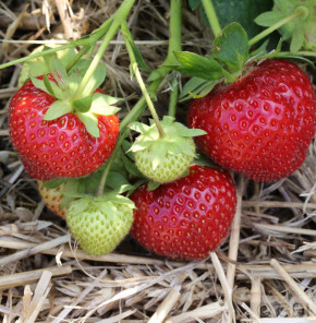 Garten Erdbeere Elan F1 - Fragaria ananassa