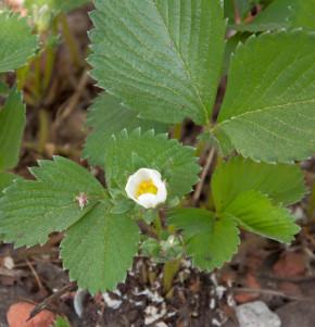 Garten Erdbeere Mieze Schindler - Fragaria ananassa