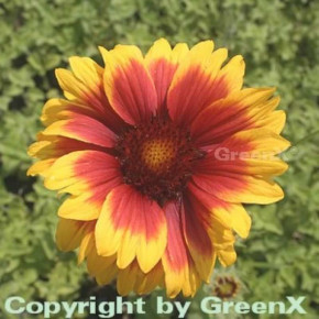Korkadenblume Kobold - Gaillardia aristata