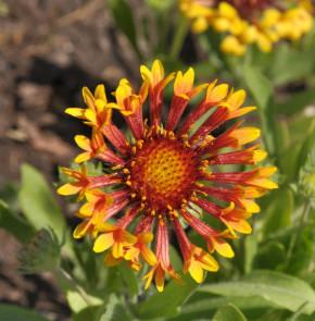 Korkadenblume Fanfare Blaze - Gaillardia grandiflora