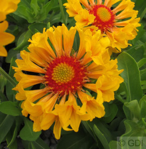 Korkadenblume Moxie - Gaillardia grandiflora