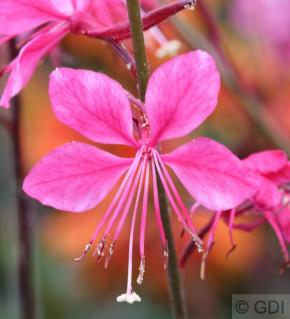 Prachtkerze Gambit Pink - Gaura lindheimeri