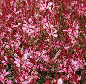 Prachtkerze Sunset Dreams - Gaura lindheimeri