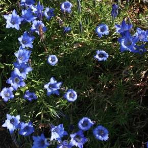 Herbstenzian Blue Silk - Gentiana sino-ornata
