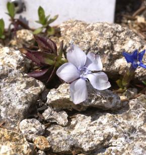 Frühlings Enzian Alba - Gentiana verna