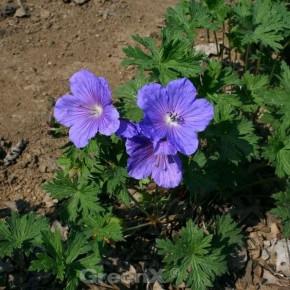 Himalayastorchschnabel Baby Blue - Geranium himalayense