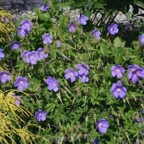 Himalayastorchschnabel - Geranium himalayense