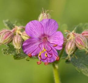 Balkanstorchschnabel Ingwersen - Geranium macrorrhizum
