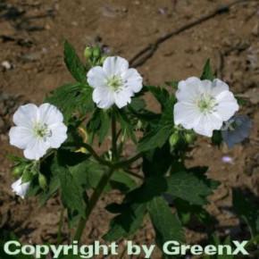 Weißer Storchenschnabel - Geranium maculatum