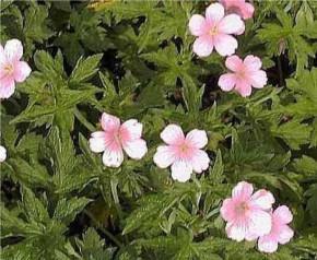 Storchenschnabel Wargrave Pink - Geranium oxonianum