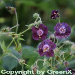 Brauner Storchenschnabel - Geranium phaeum