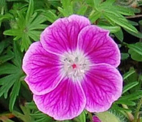 Storchenschnabel Elke - Geranium sanguineum