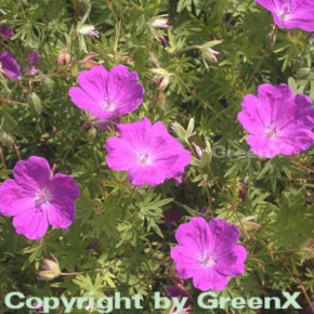 Storchenschnabel Elsbeth - Geranium sanguineum