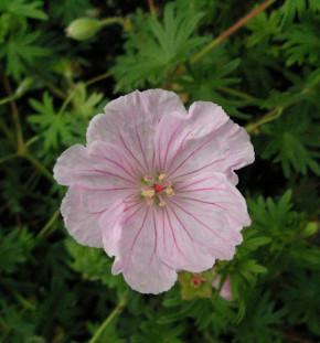 Storchenschnabel Pink Summer - Geranium sanguineum