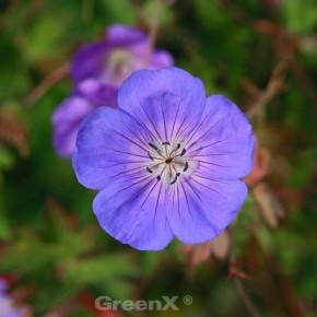 Storchenschnabel Rozanne - Geranium wallichianum