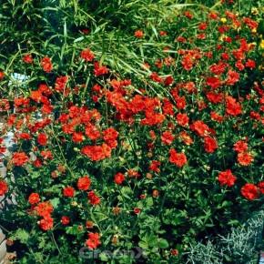 Nelkenwurz Fire Opal - Geum chiloense