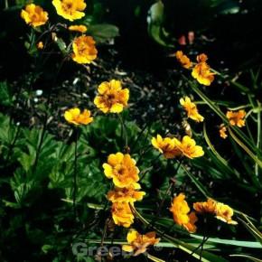 Garten Nelkenwurz Georgenberg - Geum heldreichii