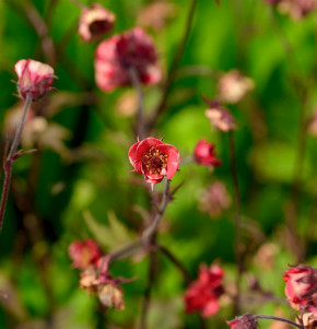 Bachnelkenwurz Flames of Passion - Geum rivale