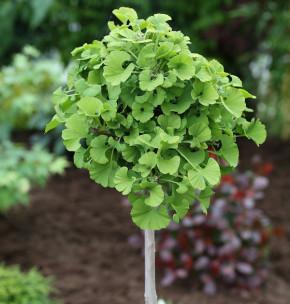Hochstamm Fächerblattbaum Annys Dwarf 80-100cm - Ginkgo biloba