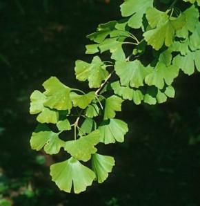 Fächerblattbaum Blagon 100-125cm - Ginkgo biloba