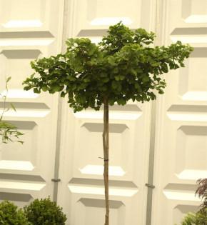 Hochstamm Kugel Fächerblattbaum 100-125cm - Ginkgo biloba