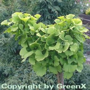 Kugel Fächerblattbaum 15-20cm - Ginkgo biloba