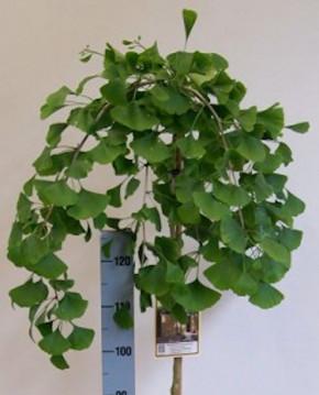 Hochstamm Hängender Ginkgobaum 100-125cm - Ginkgo biloba