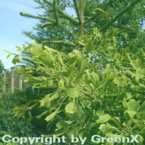 Fächerblattbusch Saratoga 60-80cm - Ginkgo biloba