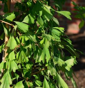 Fächerblattbusch Saratoga 80-100cm - Ginkgo biloba