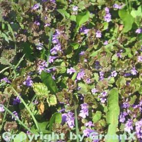 Gundelrebe - Glechoma hederacea
