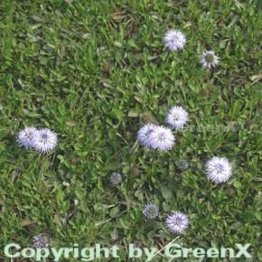 Herzförmige Kugelblume - Globularia cordifolia