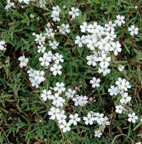 Kriechendes Schleierkraut - Gypsophila repens
