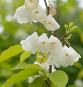 Schneeglöckchen Baum 100-125cm - Halesia carolina