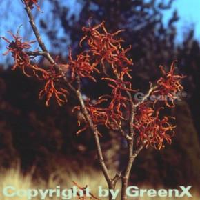 Zaubernuß Feuerzauber 30-40cm - Hamamelis intermedia