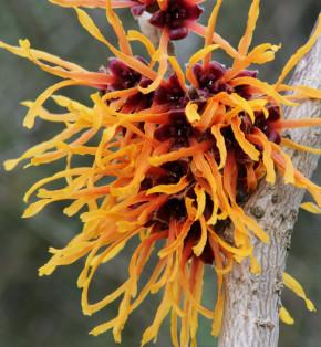 Zaubernuß Vesna 60-80cm - Hamamelis intermedia