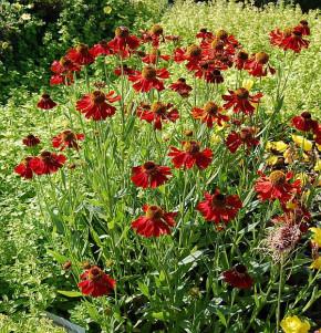 Sonnenbraut Moerheim Beauty - Helenium