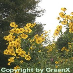 Sonnenbraut Kanaria - Helenium cultorum