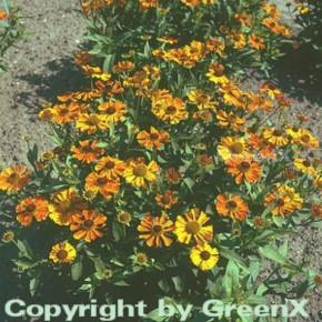 Sonnenbraut Waltraut - Helenium