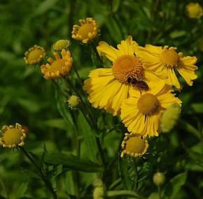 Sonnenbraut Helena - Helenium cultorum