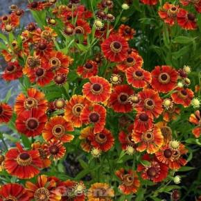 Sonnenbraut Karneol - Helenium cultorum