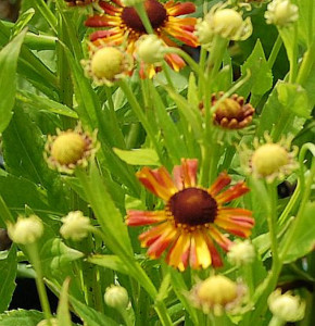 Sonnenbraut Loysder Wieck - Helenium cultorum