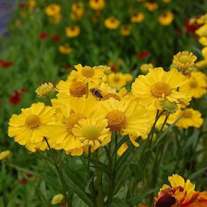 Sonnenbraut Septembergold - Helenium cultorum