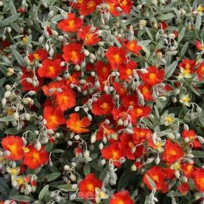 Sonnenröschen Bronzeteppich - Helianthemum
