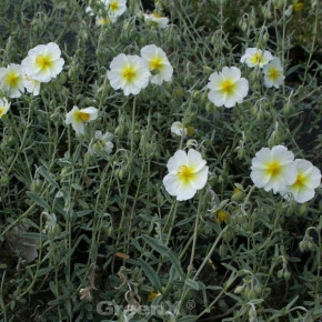 Sonnenröschen Snow Queen - Helianthemum cultorum