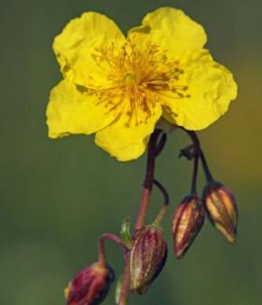 Gelbes Sonnenröschen Evergreen - Helianthemum nummularium