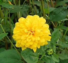 Sonnenblume Soleil d Or - Helianthus decpetalus