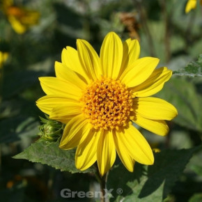 Stauden Sonnenblume Giganteus - Helianthus atrorubens