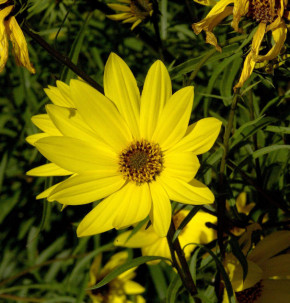 Große Weidenblättrige Sonnenblume - Helianthus orgyalis