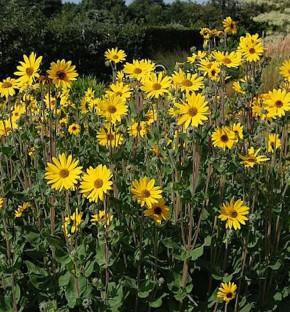 Weidenblättrige Sonnenblume Table Mountain - Helianthus salicifolius
