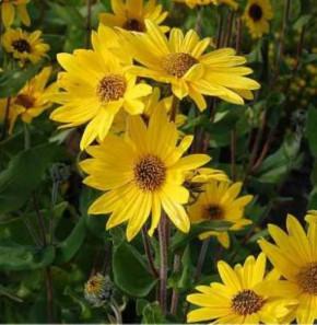 Weidenblättrige Sonnenblume - Helianthus salicifolius
